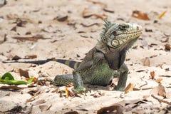 Adult land iguana on Caribbean beach Royalty Free Stock Photography