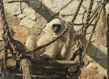 An adult lar gibbon is sitting on high platform and holds a rope Stock Images