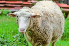 Adult large sheep eats green bush in the pasture Stock Photo
