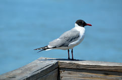 Adult laughing gull on pier Stock Image