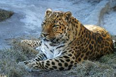 Adult Leopard stock images