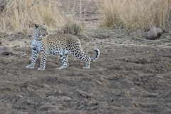 Adult Leopard standing in the open. Royalty Free Stock Photography