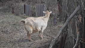 Adult light goat with long hair and curved horns stands on the background of wattle. On a small farm stock video footage