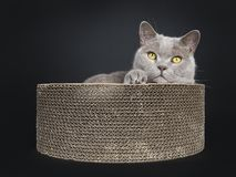 Adult lilac British Shorthair cat isolated on black background stock image