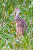 Adult Limpkin Royalty Free Stock Images