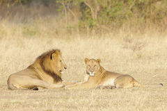 Adult lion couple lying together Stock Photo