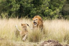 Adult lion and cub in the Masai Mara stock photos