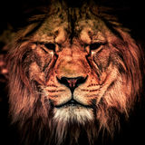 Adult lion in the dark. Portrait of big dangerous african animal. Low key effect.  Stock Images