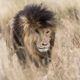 Adult lion emerging from long grass Stock Photos