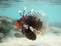 Adult Lion Fish Royalty Free Stock Photo