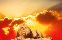 Adult lion royalty free stock photo