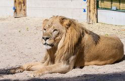 Adult lion lies on the sand in zoo Royalty Free Stock Images