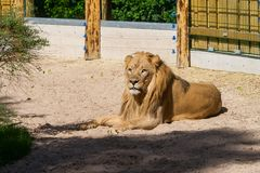 Adult lion lies on the sand in  zoo Stock Photography