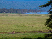 Adult lion lying in the grass. On a background of trees and lakes Royalty Free Stock Image
