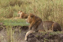 Adult lion lying and a lioness in the background. Side view Stock Images