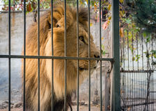 Adult lion with a mane in a cage. close-up predator look. Royalty Free Stock Photo