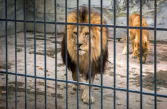Adult lion with a mane in a cage. predator. Royalty Free Stock Photos