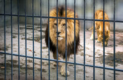 Adult lion with a mane in a cage. predator. Stock Images