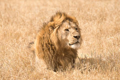 Adult lion in Ngorongoro Cráter, Tanzania Royalty Free Stock Photography
