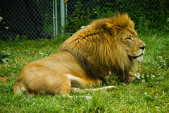 Adult lion. Outdoors with natural lighting Royalty Free Stock Photos