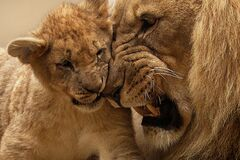 Adult Lion Playing With Lion Cub Stock Photo