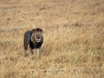Adult lion with a scar. Walking on grass Royalty Free Stock Photo