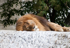 Adult lion Stock Images