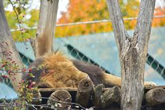 Adult lion Sleeping Zoo Autumn. Adult Lion sleeping or rest on the wooden desk on the tree . Vienna zoo, Austria, October 2017 royalty free stock photography