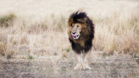 Adult lion standing in red oat grass. Adult male lion standing in a clearing amid the red oat grass of the Masai Mara, This mature lion is known locally as Scar Stock Images