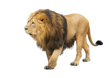 Adult lion takes a step. Is isolated on a white background Stock Photos