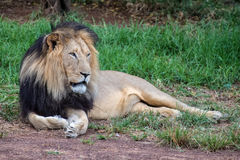 Adult lion in the wild resting. As spotted on a safari in South Africa Stock Photo