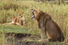 Adult lion yawning and two lionesses. In the background, side view Stock Photo