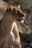 Adult lioness Royalty Free Stock Photos