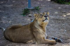 Adult Lioness Stock Photo