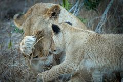 Adult lioness and tiny cub interaction. royalty free stock photo