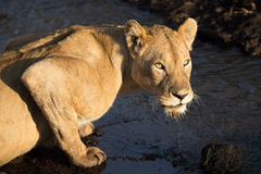 Adult Lioness drinking water from a stream in the Ngorongoro Crater Royalty Free Stock Photography