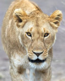 Adult lioness portrait Royalty Free Stock Photography