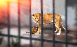 Adult lioness with a young lion at sunset. predator. Adult lioness with a young lion, for the cage bars at sunset. predator Stock Photography