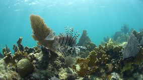 Lionfish in Caribbean Sea. An adult Lionfish hunts for prey on a coral reef in the Caribbean Sea. Lionfish are an introduced species in the Caribbean and are stock footage