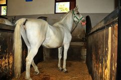 An adult lipizzaner grey breeding mare Stock Photos