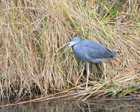 Adult Little Blue Heron (Egretta caerulea) Stock Images