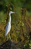 Adult Little Blue Heron (Egretta caerulea). white morph Royalty Free Stock Photography