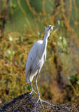 Adult Little Blue Heron (Egretta caerulea) ( white morph ) Stock Images