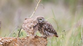 Adult Little owl Athene noctua plays with his chick stock video