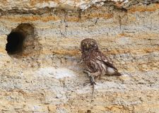 Adult little owl with a lizzard in beak sits. Near their nest Royalty Free Stock Image