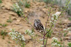 Adult little owl sits on a branch of blooming wild cherr Stock Photo