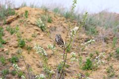 Adult little owl sits on a branch Stock Photos