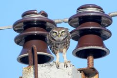 Adult little owl sits on a pole between two electrical insulators and wires royalty free stock photos