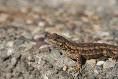 Adult lizard sunbathing on the ground Royalty Free Stock Photo