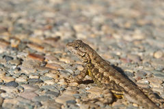 Adult lizard sunbathing on the ground Stock Photo
